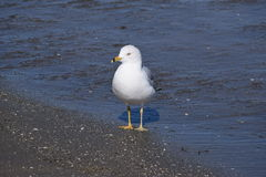 I Sea Gull. A hungry looking gull of some sort cruising the coastline in search of it's next free meal Stock Images