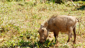 I sea You - Phacochoerus africanus The common warthog. I sea You - Phacochoerus africanus - The common warthog is a wild member of the pig family found in royalty free stock photography