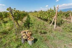 I secchi in pieno dell'uva matura hanno raccolto durante il raccolto in valle soleggiata Area del ` s dell'agricoltore con le vig Fotografia Stock