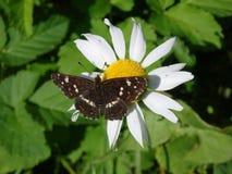 I sedili di una farfalla di marrone su una camomilla fioriscono Immagine Stock