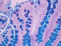 Histology of the Colon  Royalty Free Stock Photo