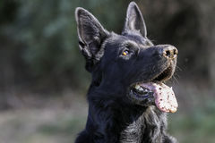 I see everything. Portrait of German Shepherd dog with attentive eyes Stock Images