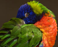 I see you. Close up of colorful Lorikeet Royalty Free Stock Image