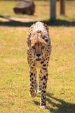I see you cheetah Stock Photography