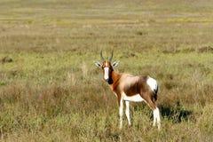 I see you - Bontebok Stock Photo