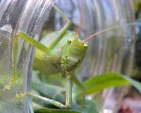 I See You. A Katydid emerges from her prison to a wonderful new world Stock Photos