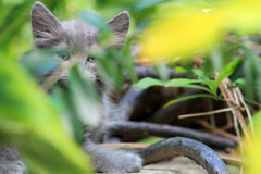 I see you kitty. Kitten hiding behind bushes in a garden Royalty Free Stock Photography