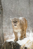 I see you. Very large tom mountain lion with teeth showing Stock Photography