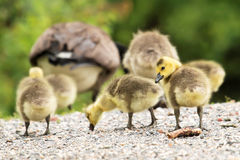 I see you watching us. Gosling follow thier parents accross a path while one of the gooslings looks back to let me know he sees me still Royalty Free Stock Photography