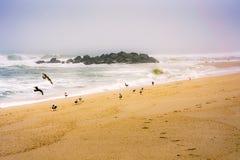 I seeguls della nebbia della spiaggia si diffondono la spiaggia Immagini Stock