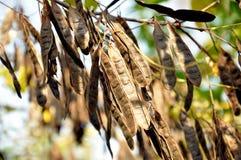 I semi dell'acacia dell'albero Fotografie Stock Libere da Diritti