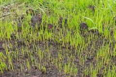 I semi dell'erba cominciano a svilupparsi nel giardino a primavera Fotografia Stock Libera da Diritti