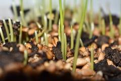 I semi germinano in suolo fertile Fotografia Stock