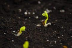 I semi germogliati del geranio Fotografie Stock