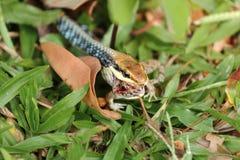 I serpenti mangiano le rane Fotografia Stock Libera da Diritti