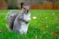 Squirrel in the garden is waiting the nuts royalty free stock photos