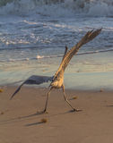 I shouln'ta had that lass one. Pelican tilting against the wind, looking drunk Stock Photography