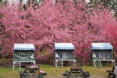 I sikt Taiwan för körsbärsröda blomningar Arkivfoto