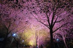 I sikt Taiwan för körsbärsröda blomningar Royaltyfria Foton