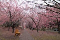 I sikt Taiwan för körsbärsröda blomningar Royaltyfri Foto