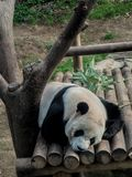 Sleeping Panda in the Wild royalty free stock image