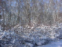 I solig en frostig dag slås in buskar upp som samlar snö Royaltyfri Foto