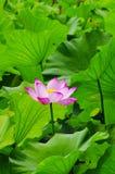 I sommaren av lotusblommabladet royaltyfri foto