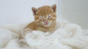 I sonni del gattino dello zenzero avvolti nel bianco hanno tricottato il gatto della lanugine della sciarpa immagini stock