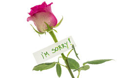 I am sorry note. I am sorry card on beautiful pink rose. Isolated over white background Stock Photography