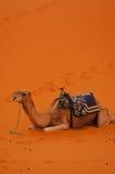 I special ferie på en kamelritt Royaltyfria Foton