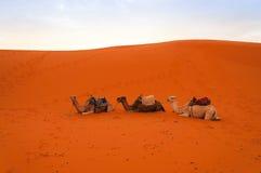 I special ferie på en kamelritt Fotografering för Bildbyråer
