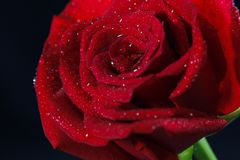 Romantic and beautiful red Rose. I sprayed water on the rose and took a close-up picture Royalty Free Stock Image
