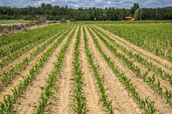 I stand out maize Stock Photo