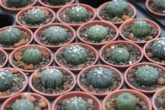 I succulenti che possono servire da ambiti di provenienza sono sparati nella serra Immagine Stock Libera da Diritti