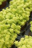 I succulenti che possono servire da ambiti di provenienza sono sparati nella serra Immagine Stock