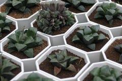 I succulenti che possono servire da ambiti di provenienza sono sparati nella serra Fotografie Stock