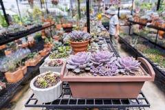 I succulenti o il cactus nel giardino botanico del deserto con il fondo dei ciottoli della pietra della sabbia per la decorazione Immagini Stock