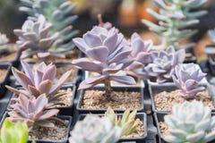 I succulenti o il cactus nel giardino botanico del deserto con il fondo dei ciottoli della pietra della sabbia per la decorazione Immagine Stock Libera da Diritti