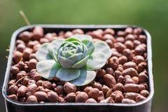 I succulenti o il cactus nel giardino botanico del deserto con il fondo dei ciottoli della pietra della sabbia per la decorazione Immagine Stock