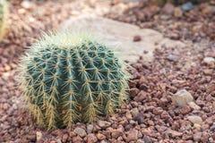 I succulenti o il cactus nel giardino botanico del deserto con il fondo dei ciottoli della pietra della sabbia per la decorazione Fotografie Stock Libere da Diritti