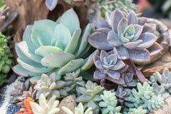 I succulenti o il cactus nel giardino botanico del deserto con il fondo dei ciottoli della pietra della sabbia per la decorazione Fotografia Stock