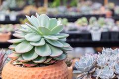I succulenti o il cactus nel giardino botanico del deserto con il fondo dei ciottoli della pietra della sabbia per la decorazione Fotografia Stock Libera da Diritti