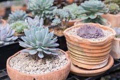 I succulenti o il cactus nel giardino botanico del deserto con il fondo dei ciottoli della pietra della sabbia per la decorazione Immagini Stock Libere da Diritti
