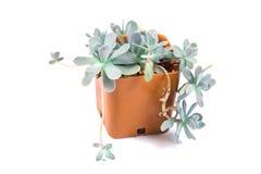 I succulenti piantano in vaso su fondo bianco Fotografie Stock Libere da Diritti