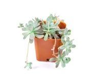I succulenti piantano in vaso su fondo bianco Fotografia Stock