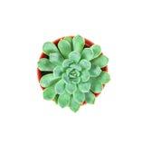 I succulenti piantano in vaso su fondo, su spese generali o sul principale bianche vi Fotografia Stock