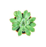 I succulenti piantano in vaso su fondo, su spese generali o sul principale bianche vi Fotografia Stock Libera da Diritti