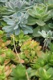 I succulenti spessi della foglia mostrano un genere differente di bellezza Immagini Stock Libere da Diritti