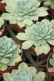 I succulenti spessi della foglia mostrano un genere differente di bellezza Fotografia Stock Libera da Diritti