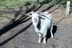 I supporti ed i sembrare della capra che sono strabici fotografia stock libera da diritti